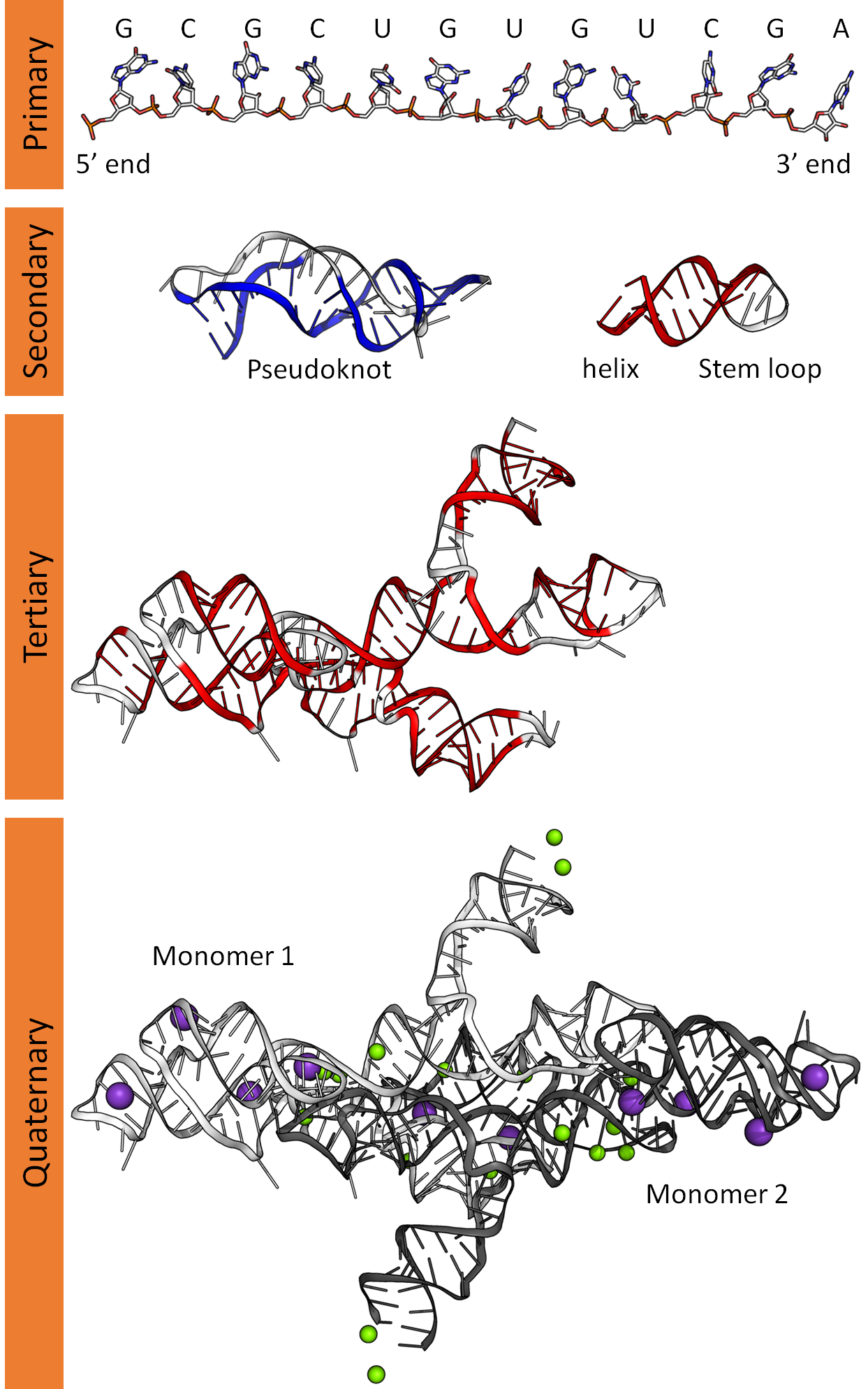 Overview of the different levels of RNA structure https://commons.wikimedia.org/wiki/File:RNA_structure_(full).png