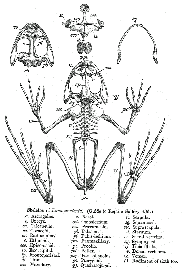 File:Rana skeleton.png - Wikimedia Commons