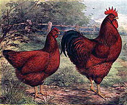 Rhode island red 1915 lithograph