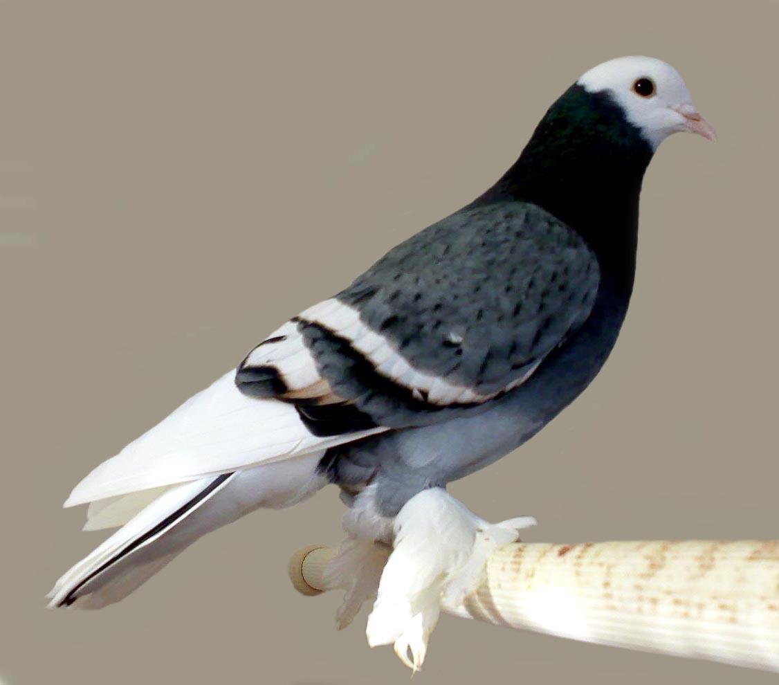 how to use pigeon nipple shield