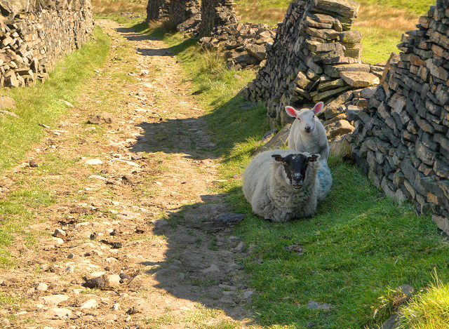 Sheep on the Rochdale Way (geograph 2969508)