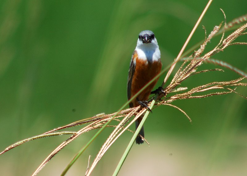 Loss Of Pet >> Marsh seedeater - Wikipedia