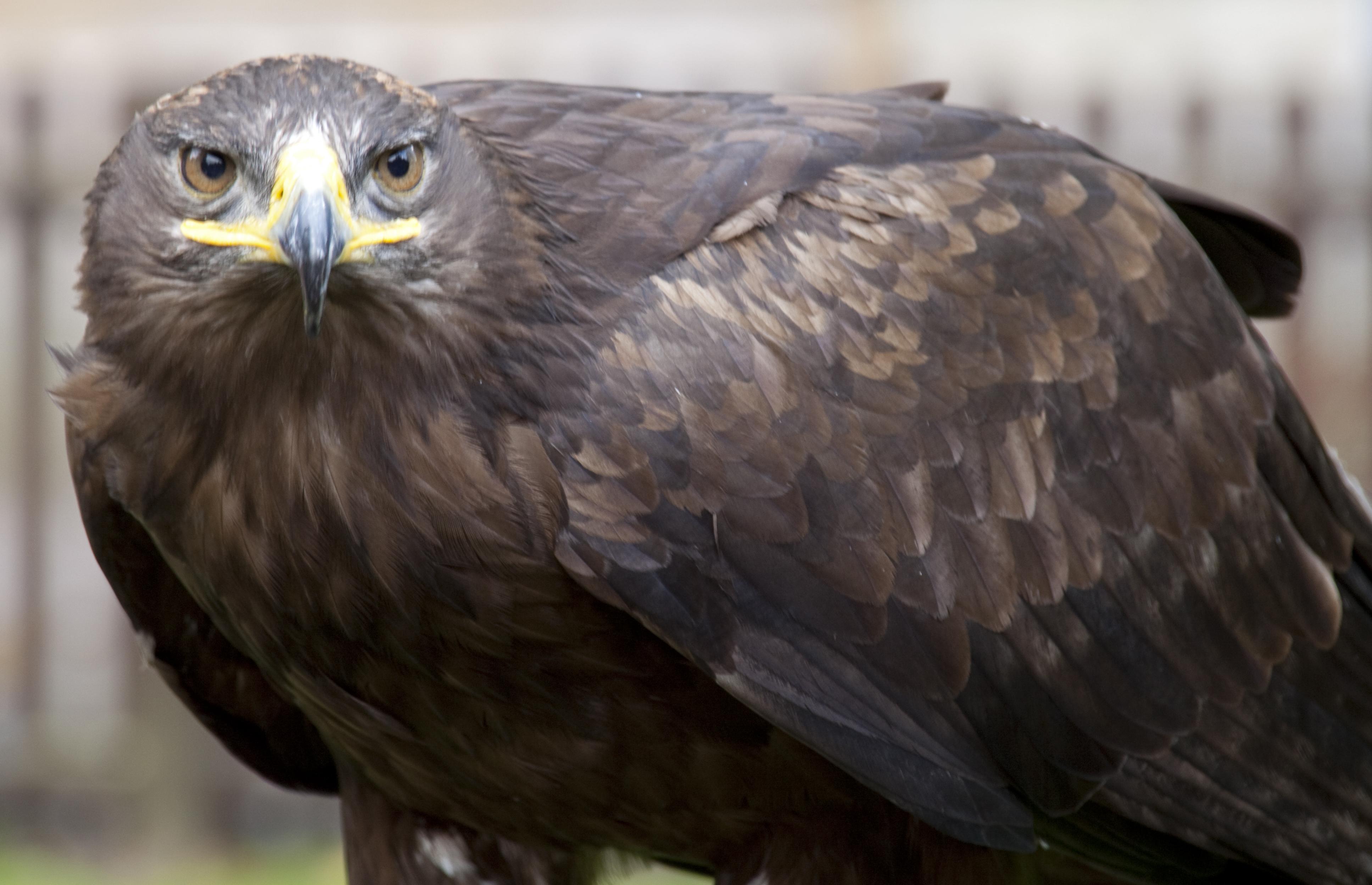 Wikipedia Steppe Eagle File:steppe Eagle 4