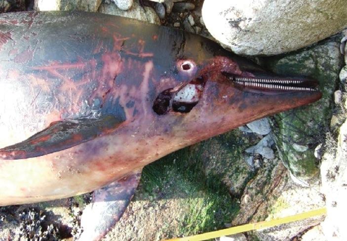 File:Stranded Stenella coeruleoalba - ZooKeys-365-005-g004D.jpg