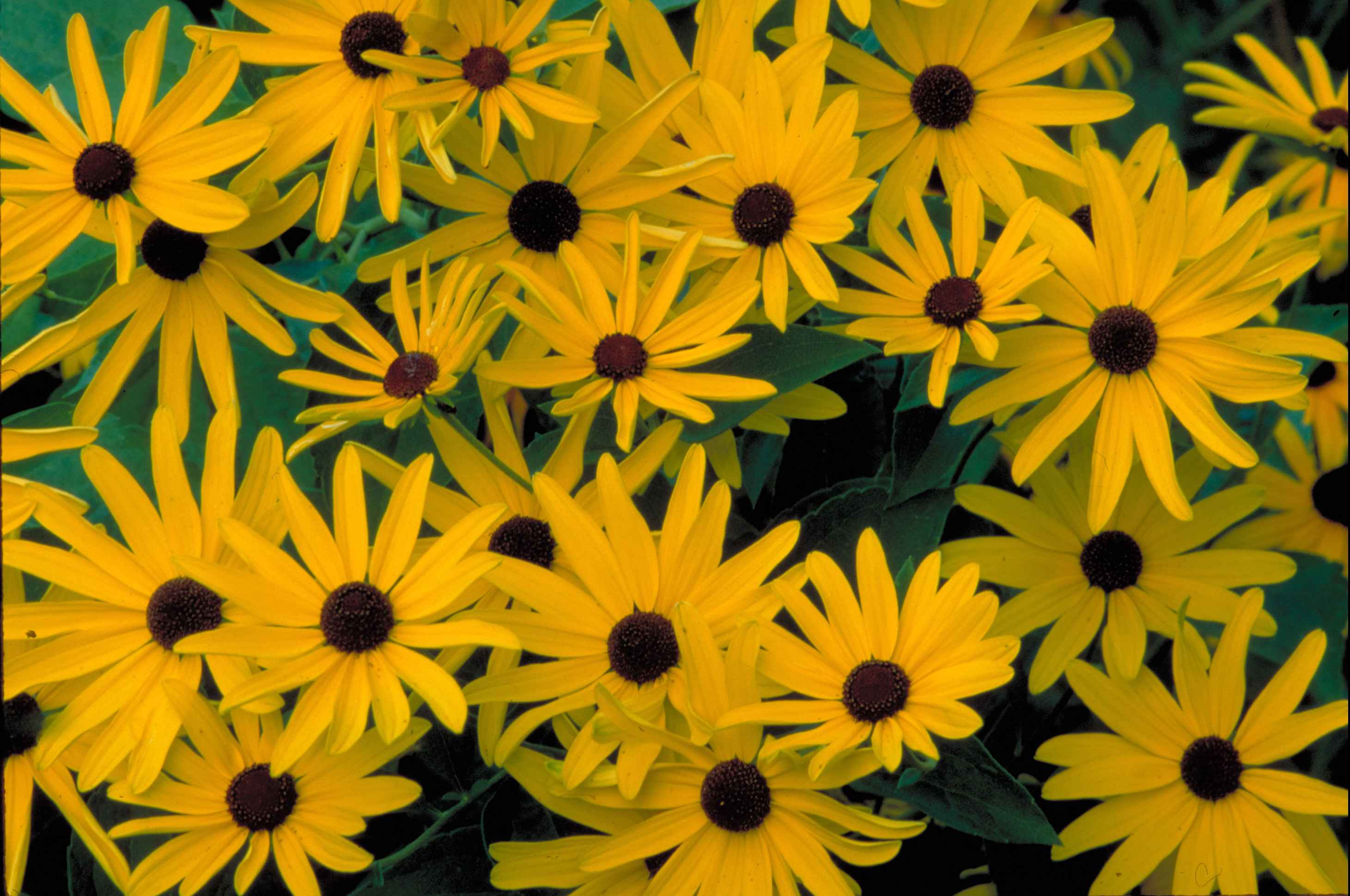 Filesweet black eyed susan bright yellow blossoms with dark brown filesweet black eyed susan bright yellow blossoms with dark brown ceters flowers rudbeckia subtomentosa mightylinksfo