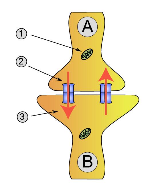 Sinapsis Wikiwand