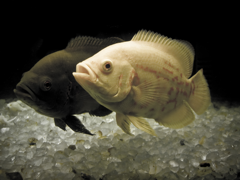 Full grown oscar fish - photo#12