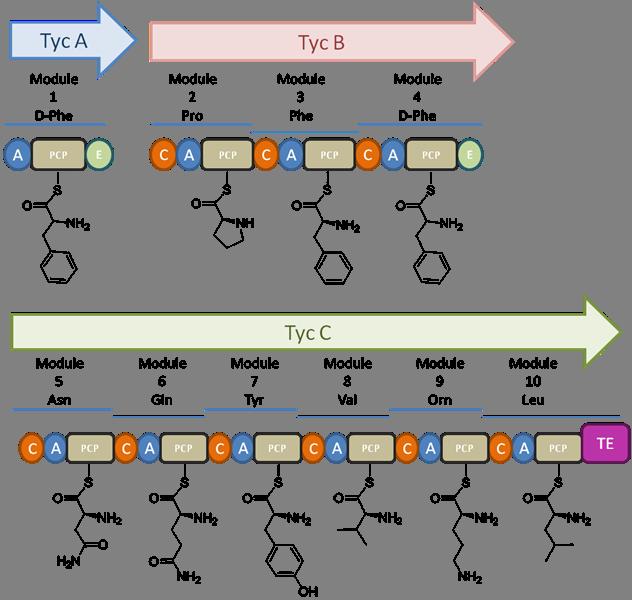 Tyrocidine domain organization