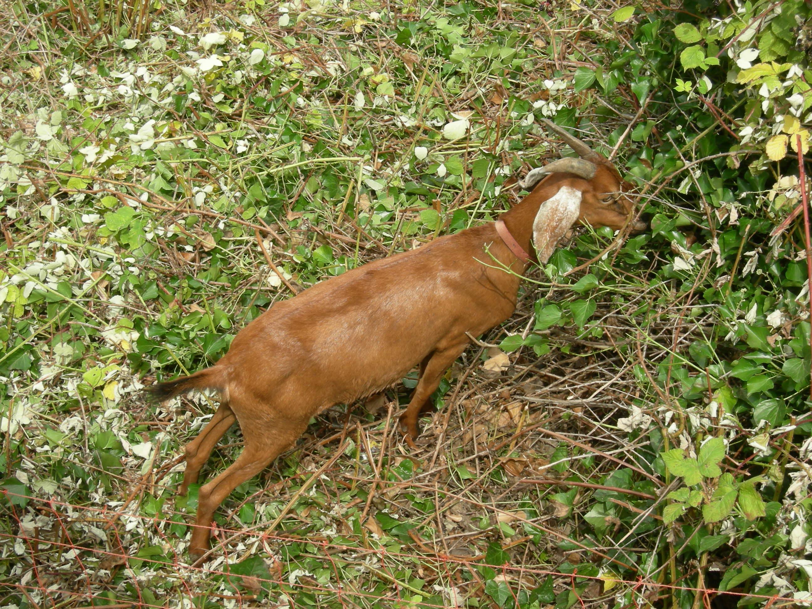 Spanish goat - Wikipedia