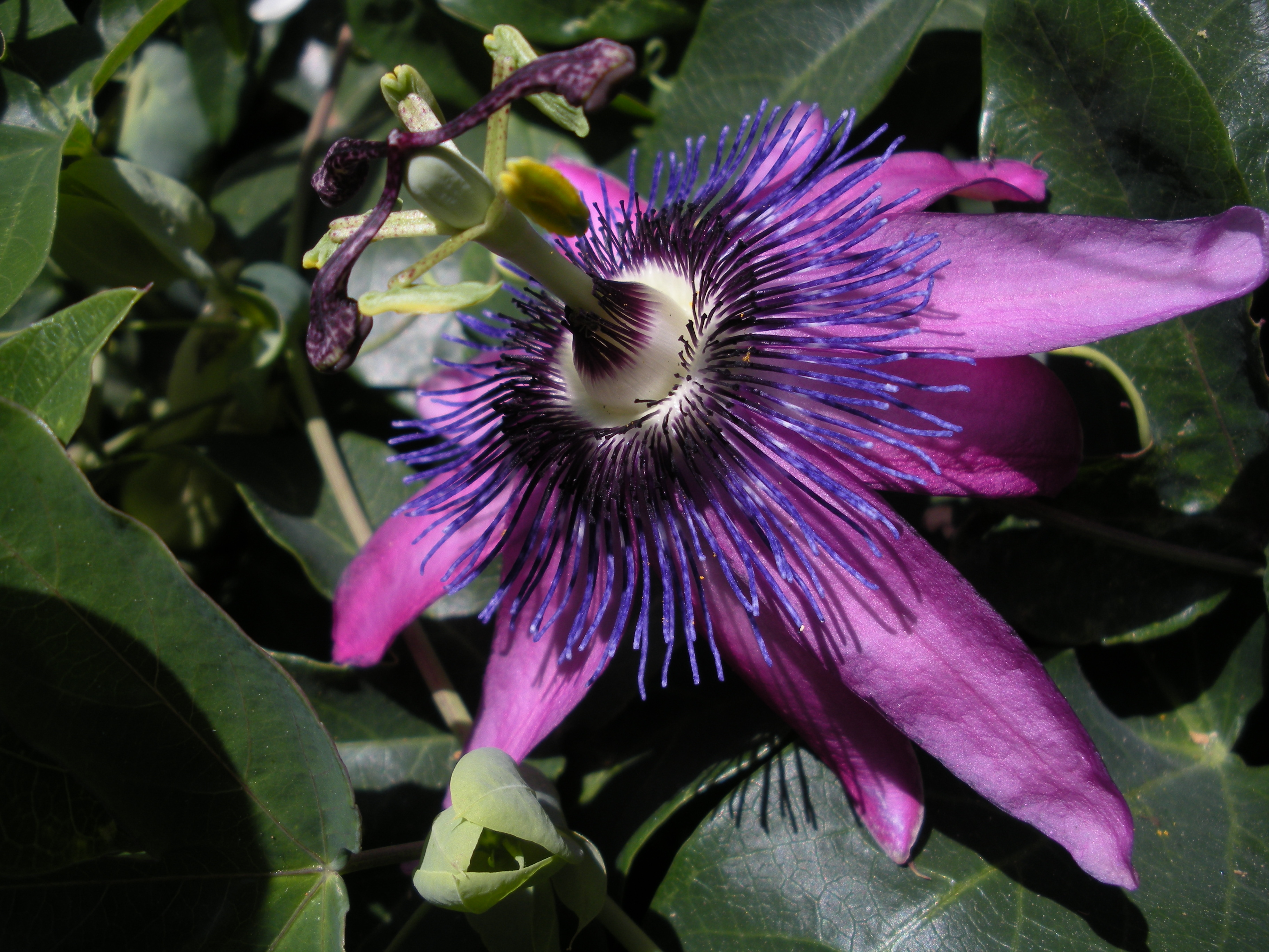 File Violet Passion Flower