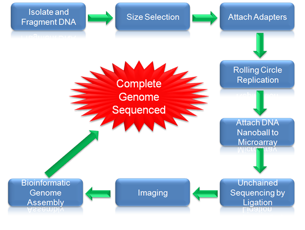 Workflow for DNA nanoball sequencing