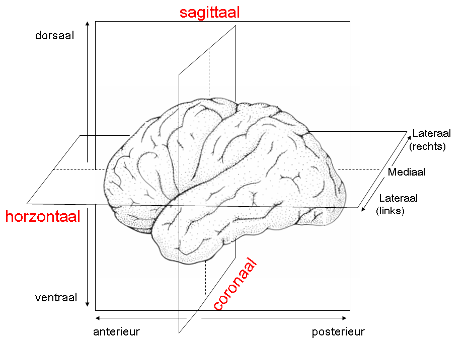 Category:Human brain (sagittal section) - Wikimedia Commons