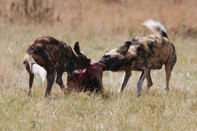 Boar Hunting Dog Breeds Cotes