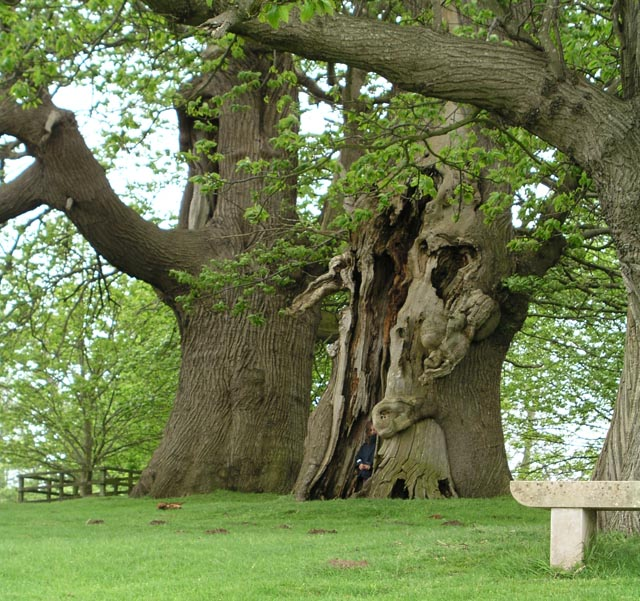 FileAncient Chestnut trees at Petworth House geographorguk