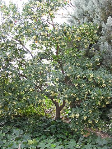 http://upload.wikimedia.org/wikipedia/commons/a/af/Arbutus_unedo_-_tree.jpg