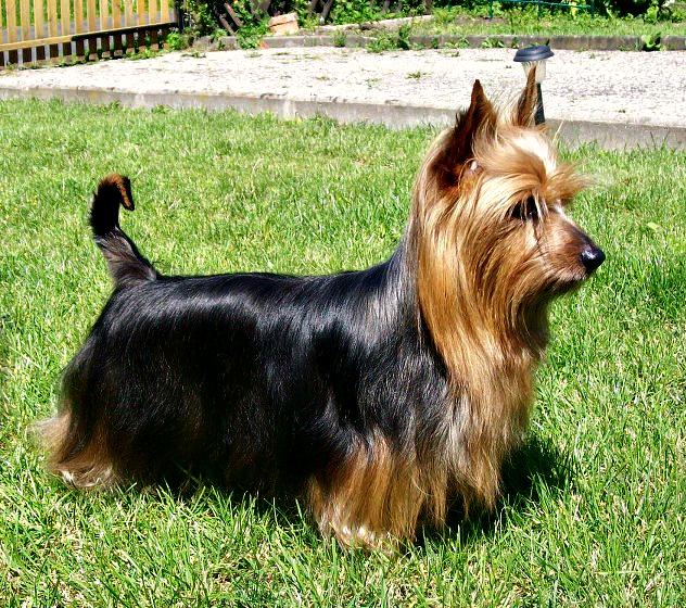 Australian Silky Terrery Dog Free To Home