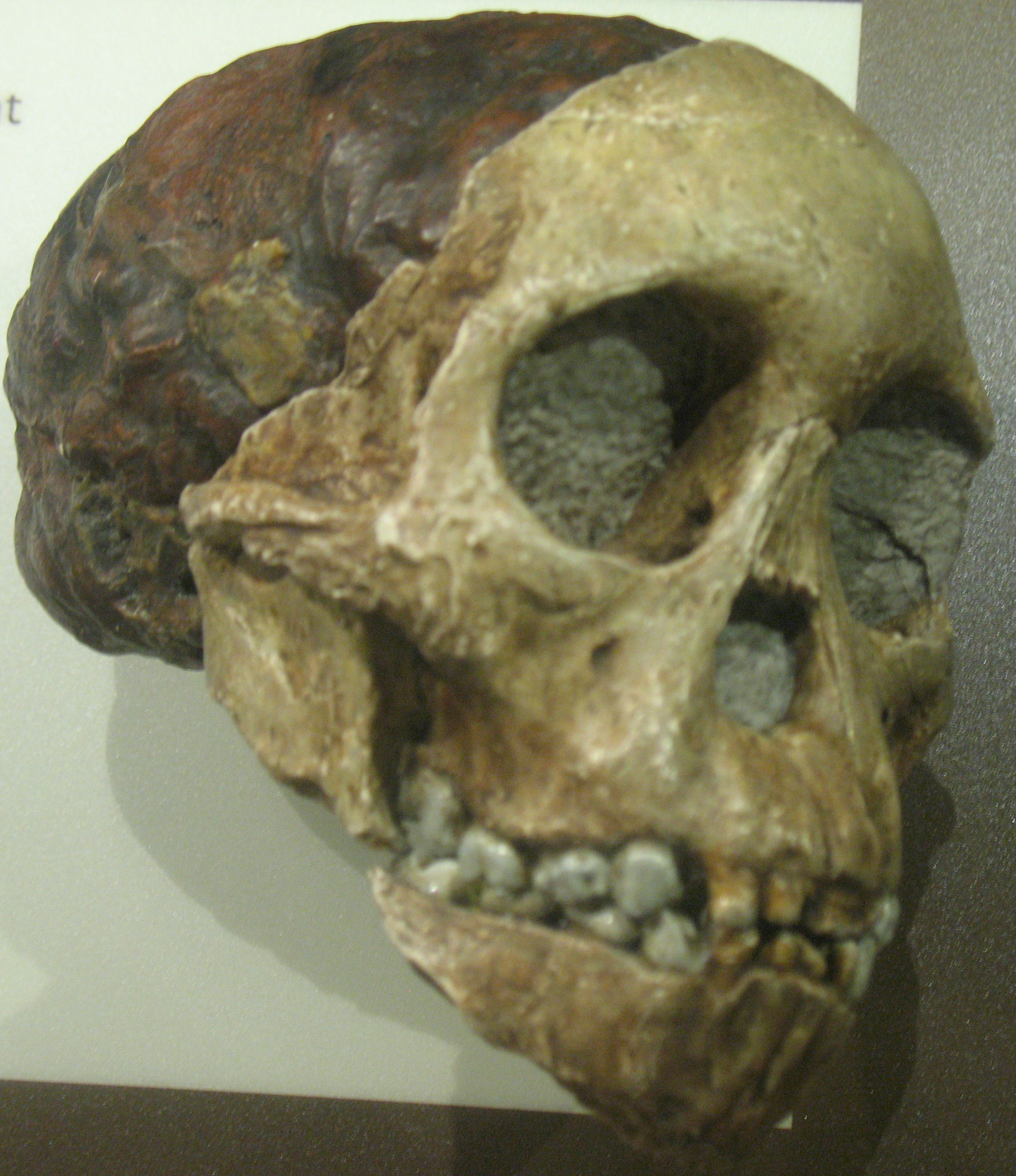 macroevolution of hominids essay The newest archaic hominin taxon, the ca19 ma australopithecus sediba,  in  the second of the three essays in his evidence as to man's place in  in human  evolution (eg, speciation, extinction) may have been taking.