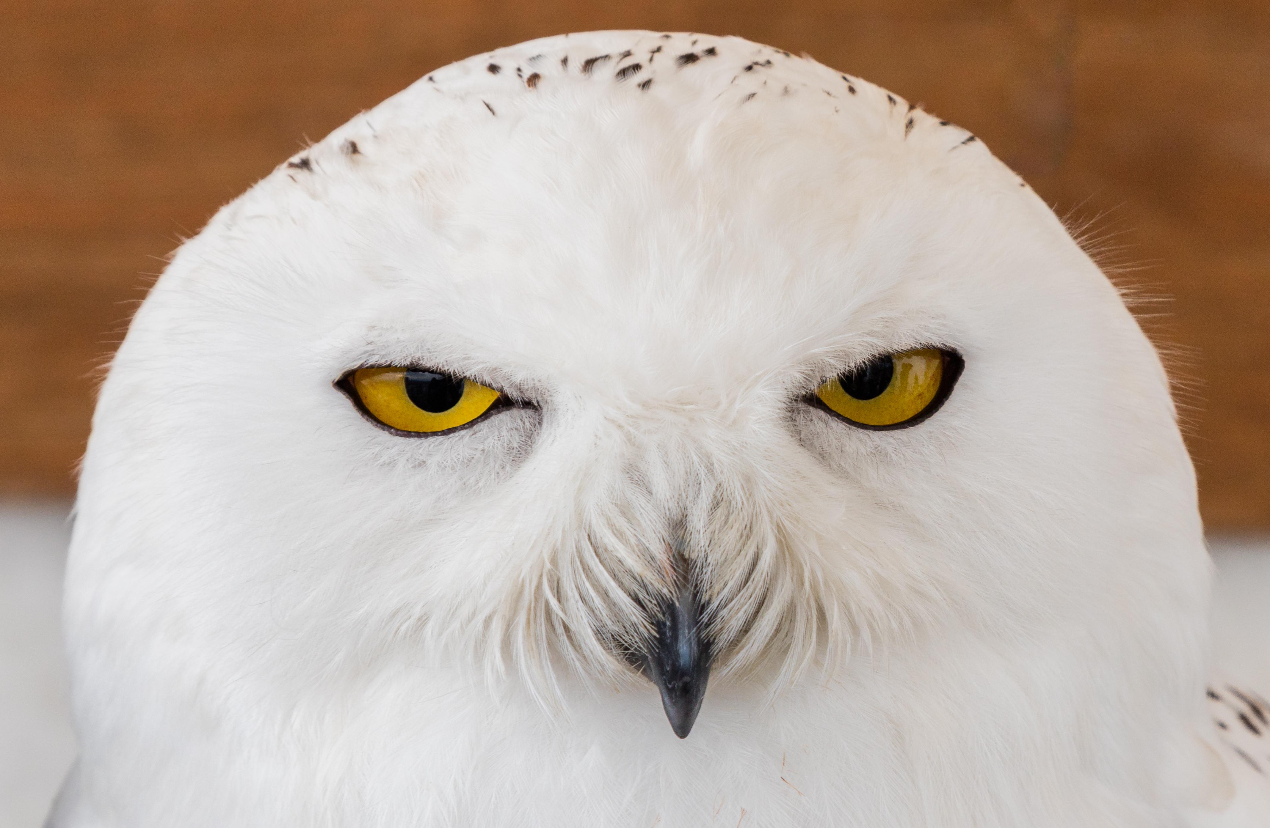 File:B%C3%BAho_nival_(Bubo_scandiacus),_Arcos_de_la_Frontera,_C%C3%A1diz,_Espa%C3%B1a,_2015 12 08,_DD_03 on Snowy Owls