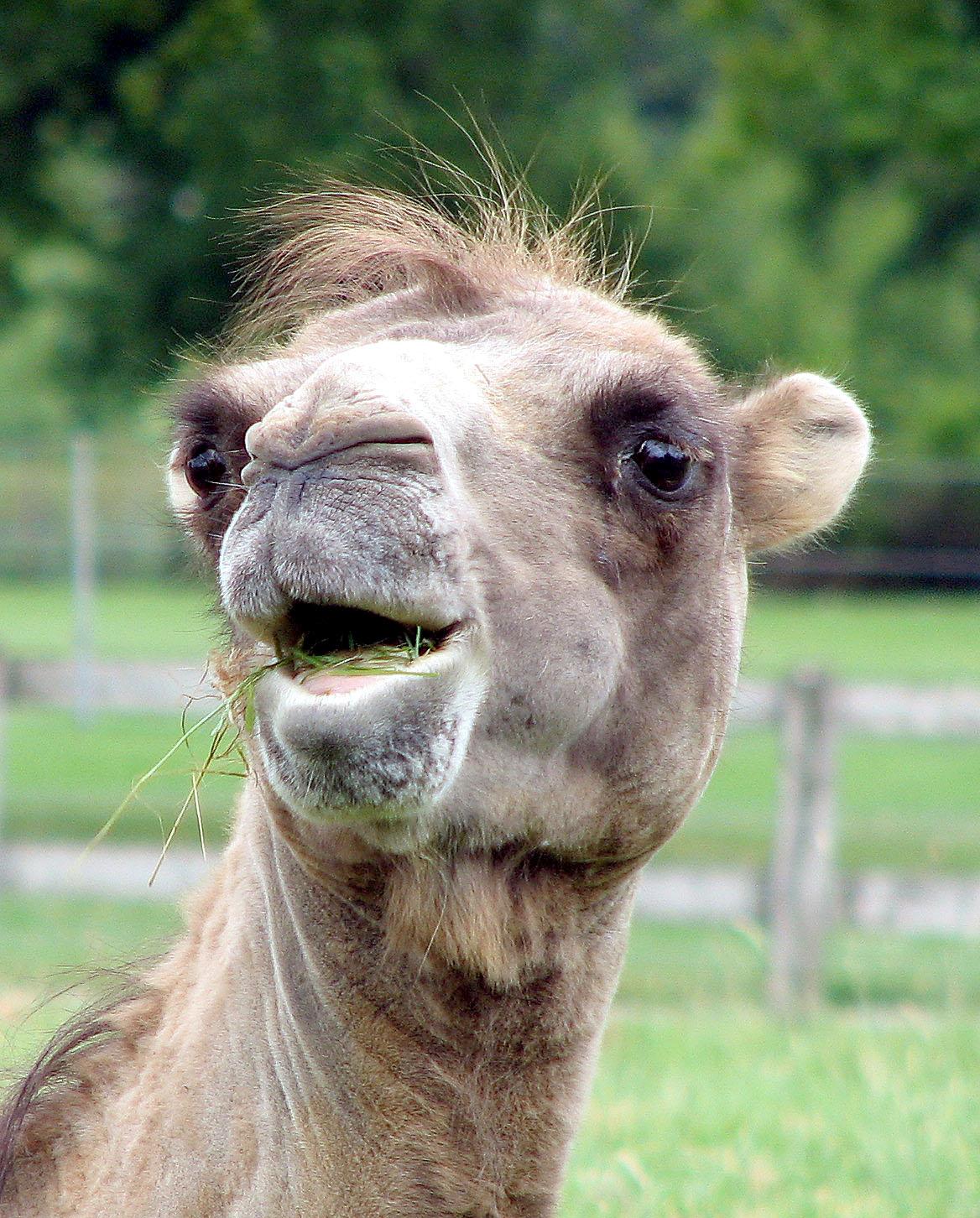 Новогодние, картинки смешные верблюд