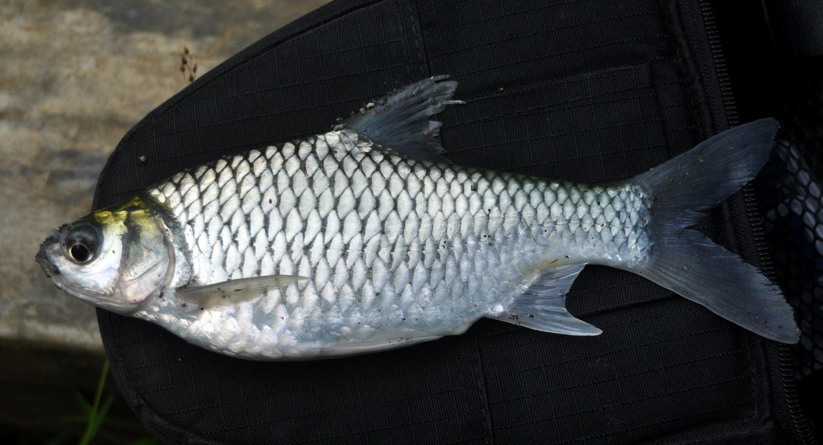 ผลการค้นหารูปภาพสำหรับ ปลาตะเพียนขาว