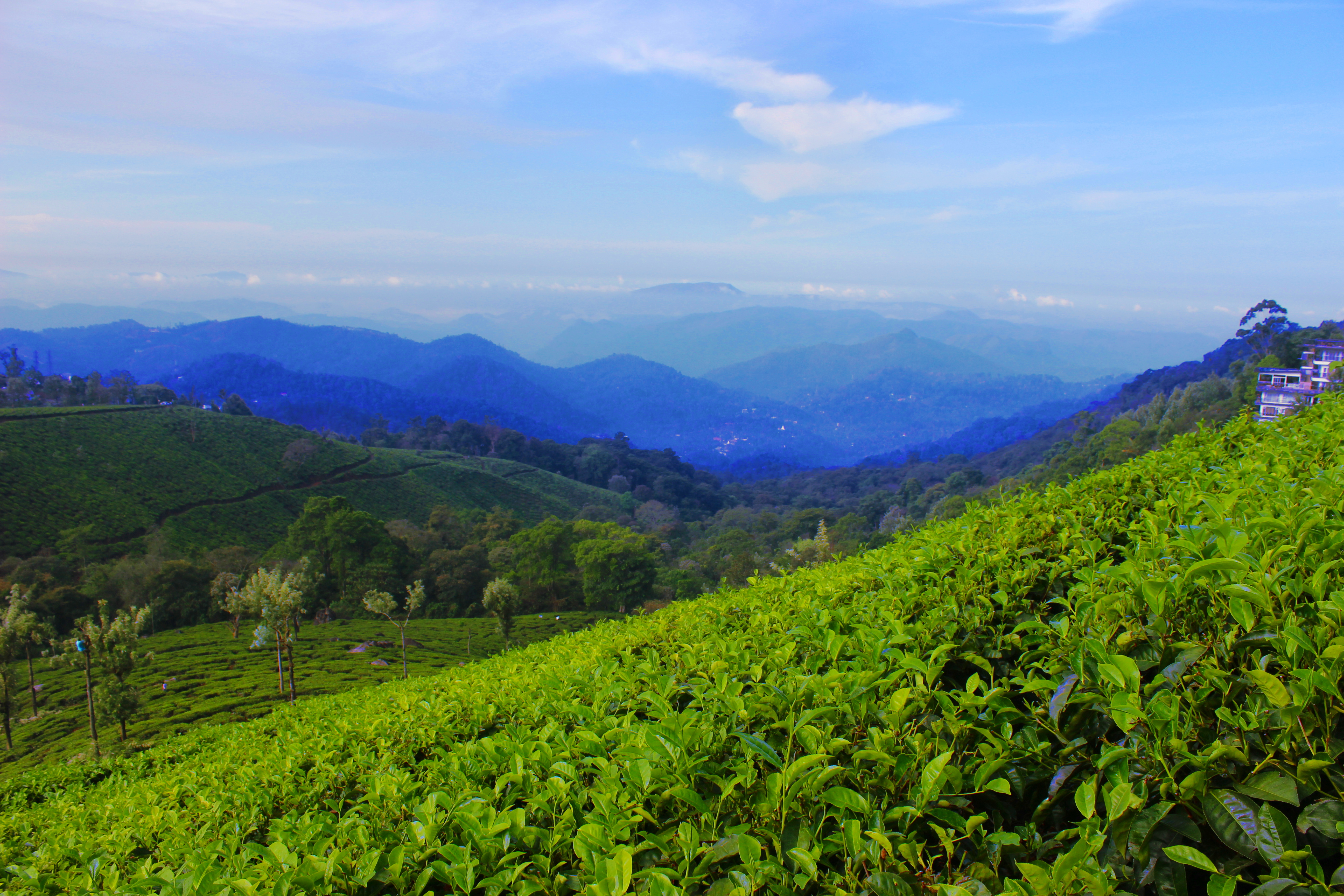 Tea Garden At Munnar Kerala India