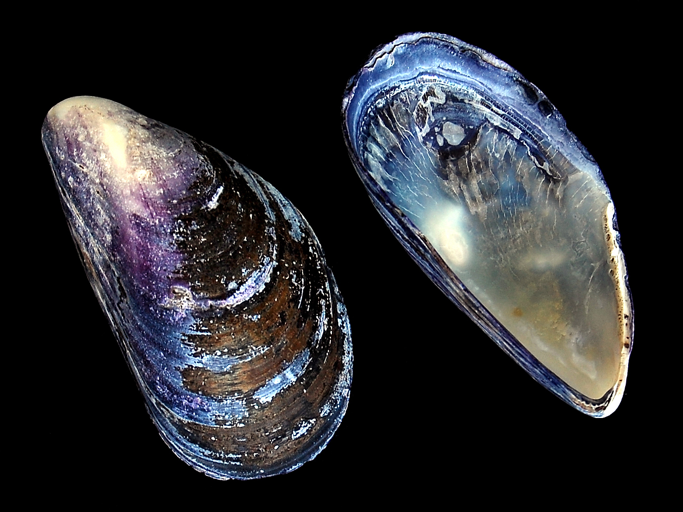 the feasibility of mussel shells bivalvia Mussel shell (mytilus edulis) as a material for cloth stain remover.