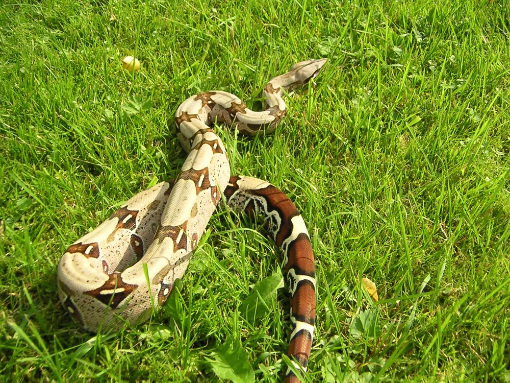 Boa Constrictor Pet Boa Constrictor Constrictor