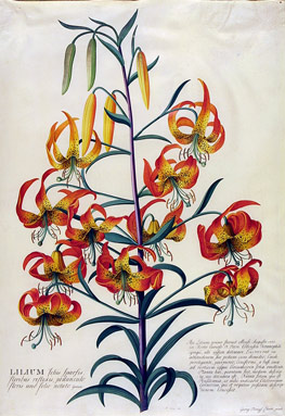 American Turk's Cap Lily, Lilium superbum by Georg Dionysius Ehret (1708–70), c 1750–3. Watercolour and gouache on vellum. V&A Museum no. D.589-1886[7]