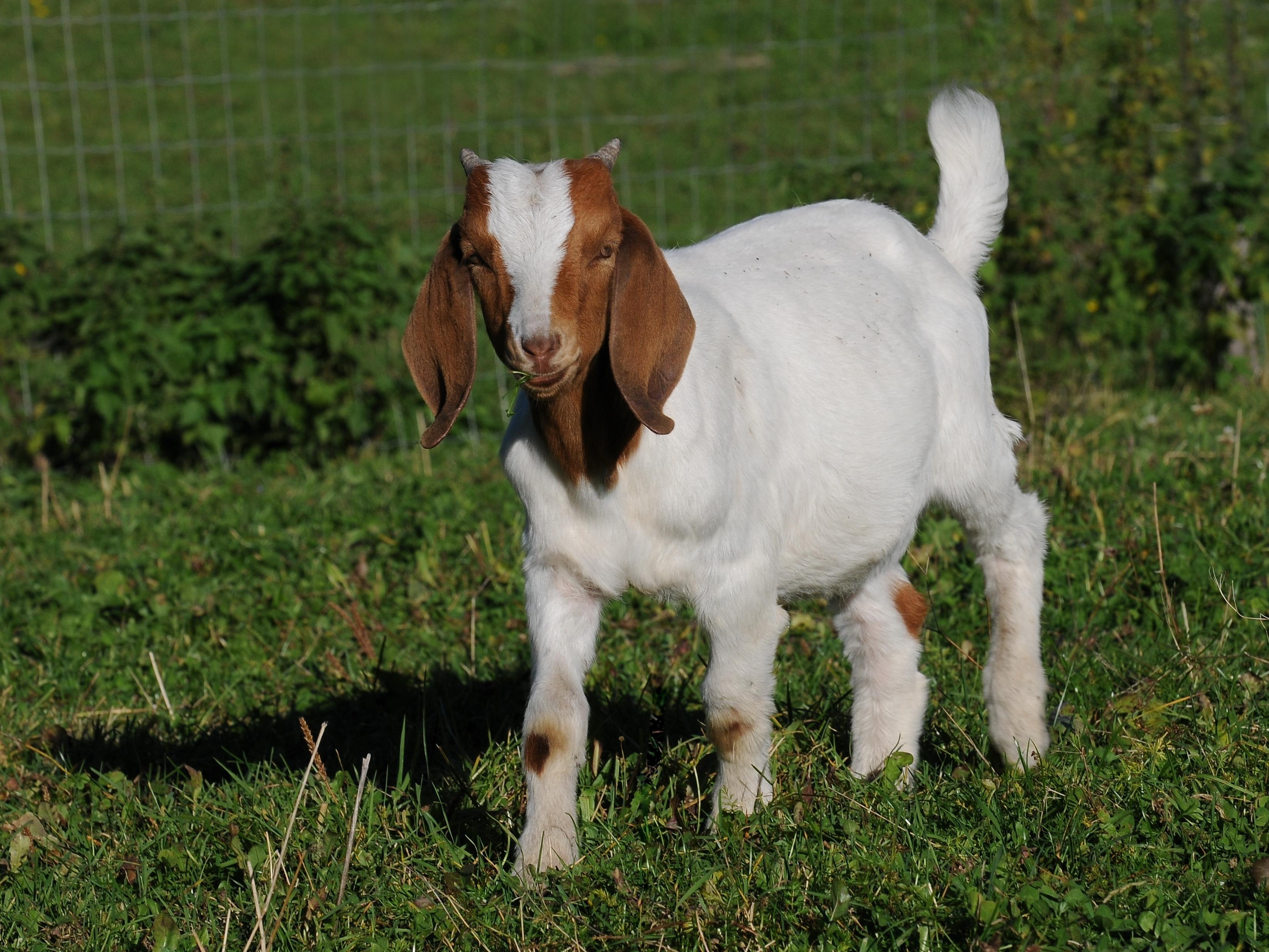 Wiki: Boer goat - upcScavenger - photo#35