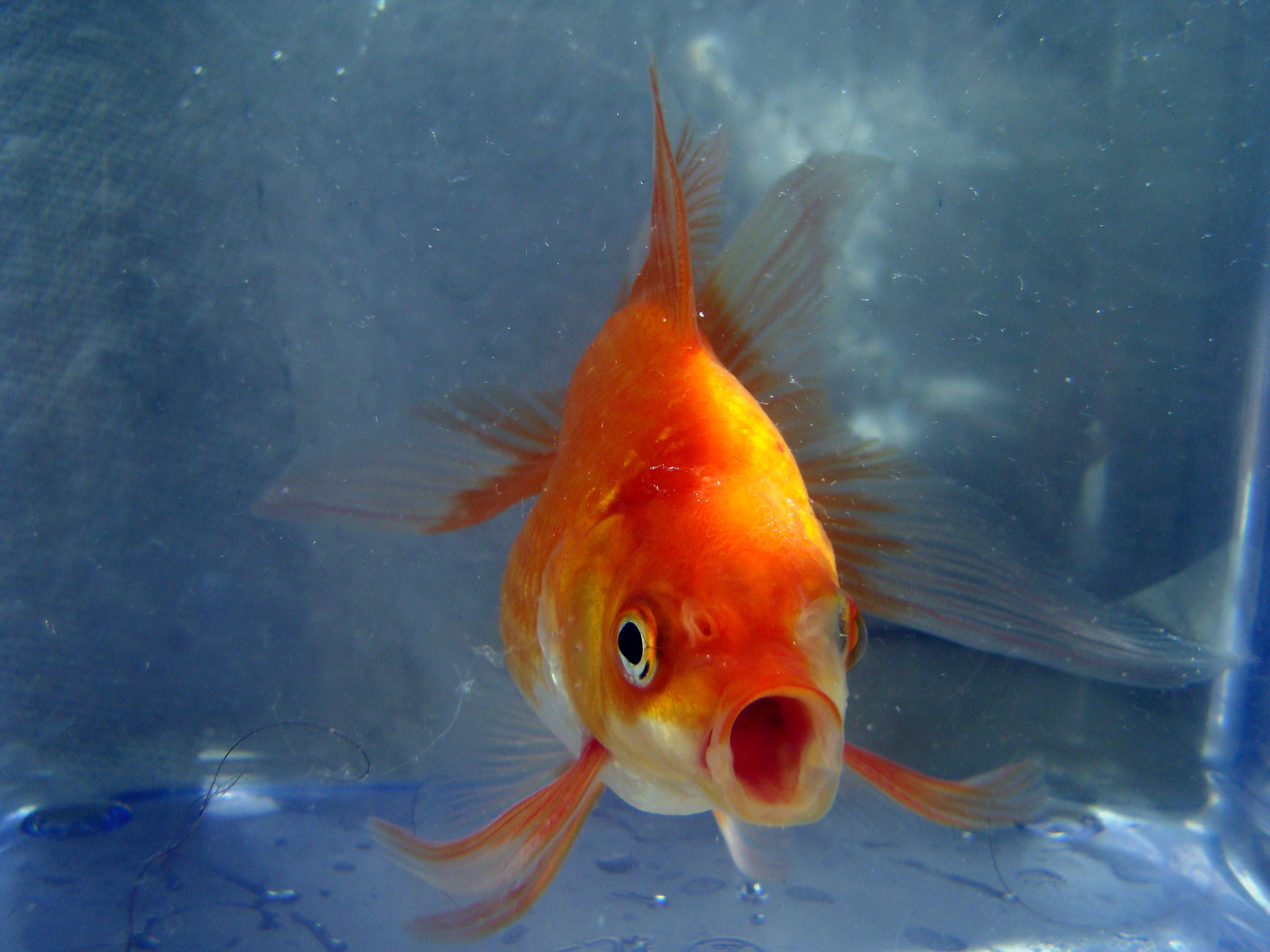 Goldfisch Englisch