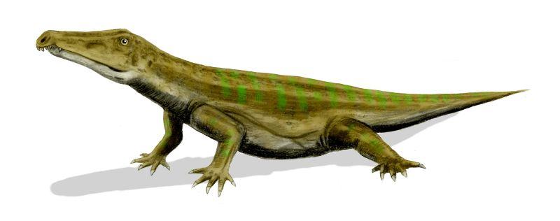 Description Chasmatosa...