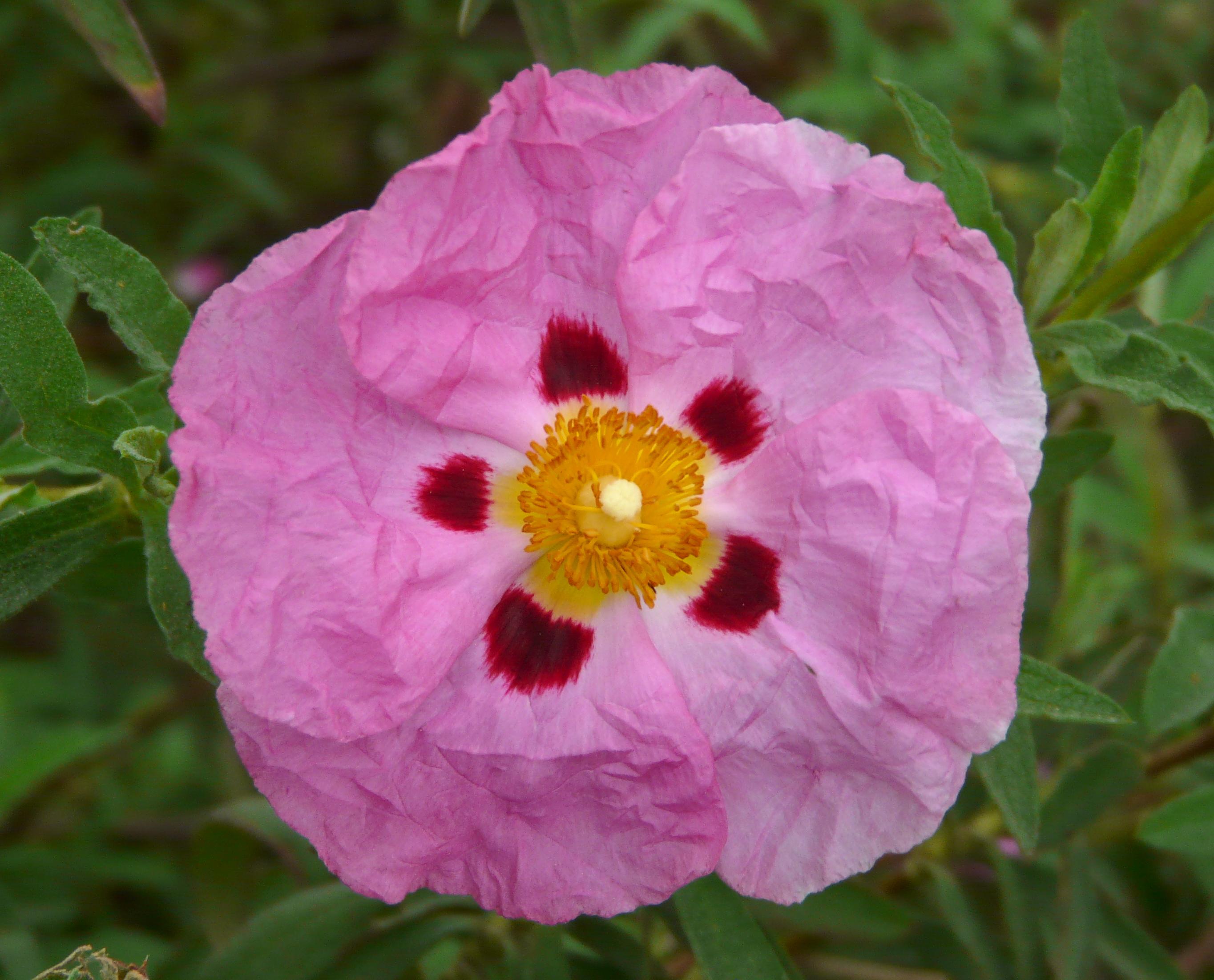 Cistus Purpureus Orchid Rock Rose