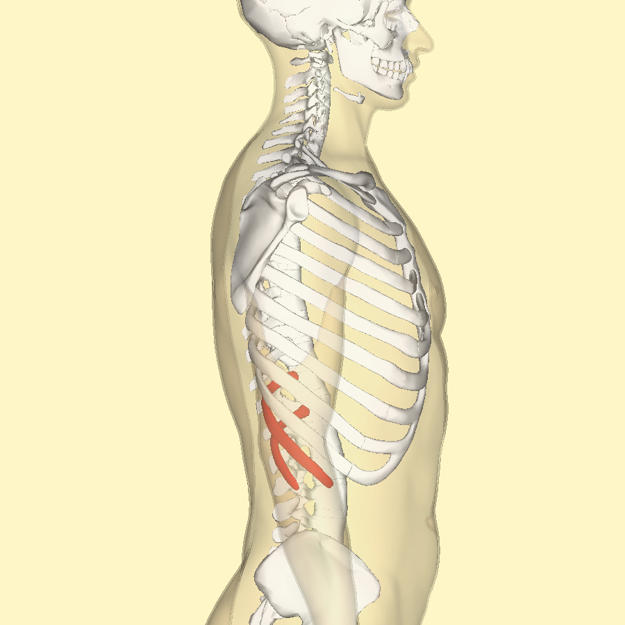 File:Floating ribs lateral.png - Wikimedia Commons