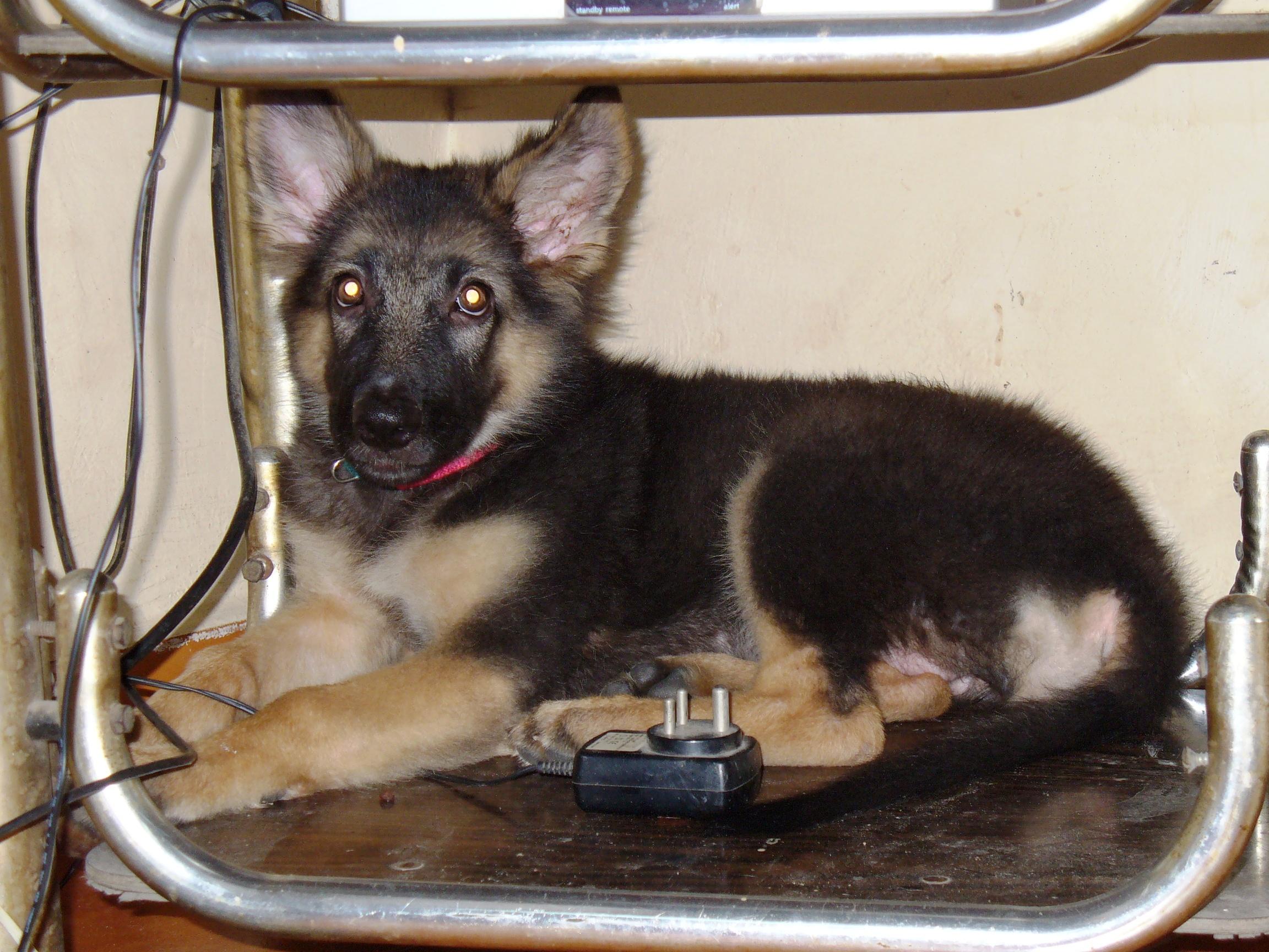 Free German Shepherd Dogs For Sale
