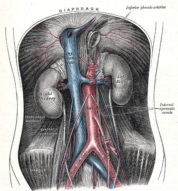 loading image for Abdominal aorta