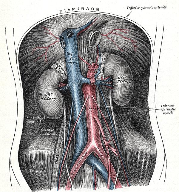 Testicular Artery Wikiwand