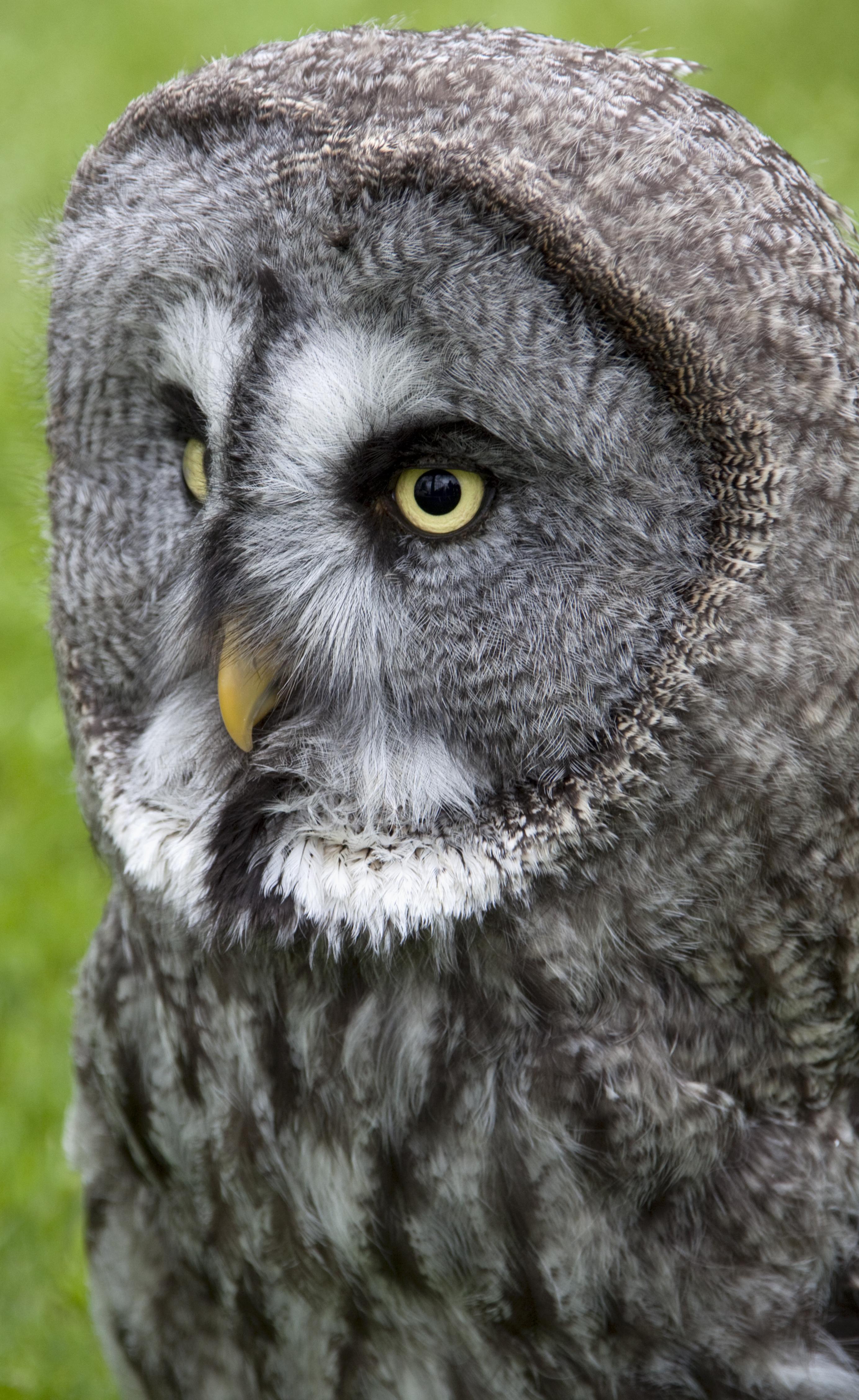 File:Great Grey Owl 1 (4571095634).jpg - Wikimedia Commons