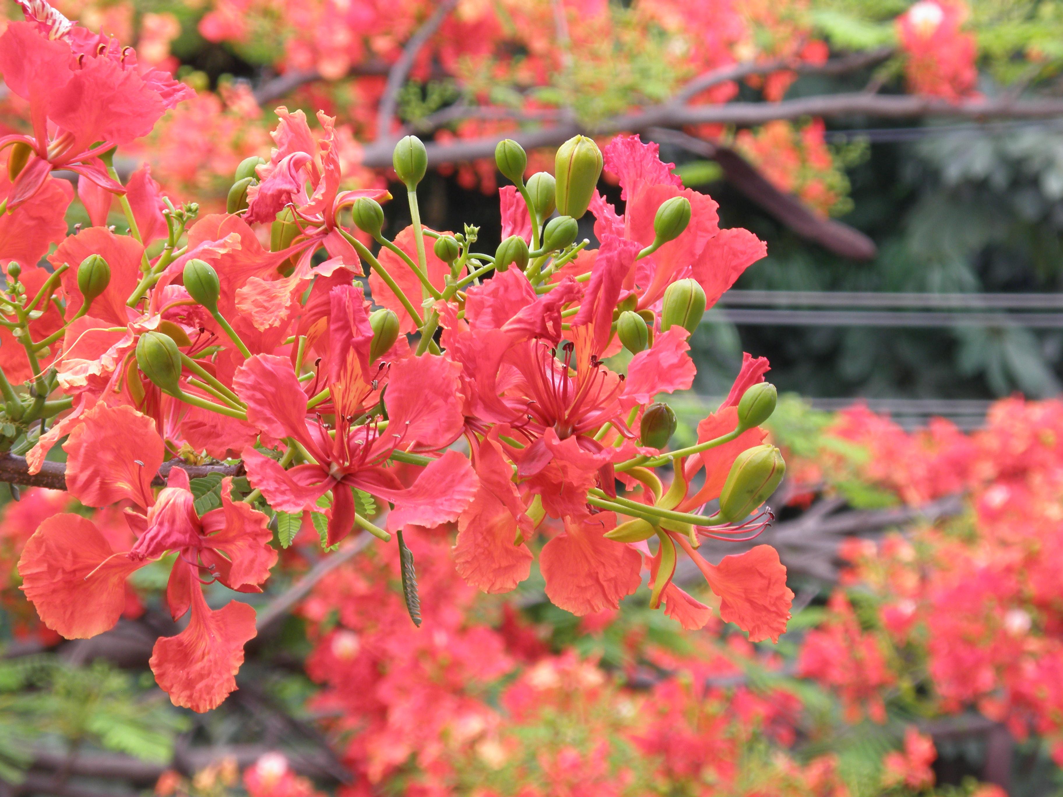 File:Gulmohar flowers closeup 1.JPG Flowers