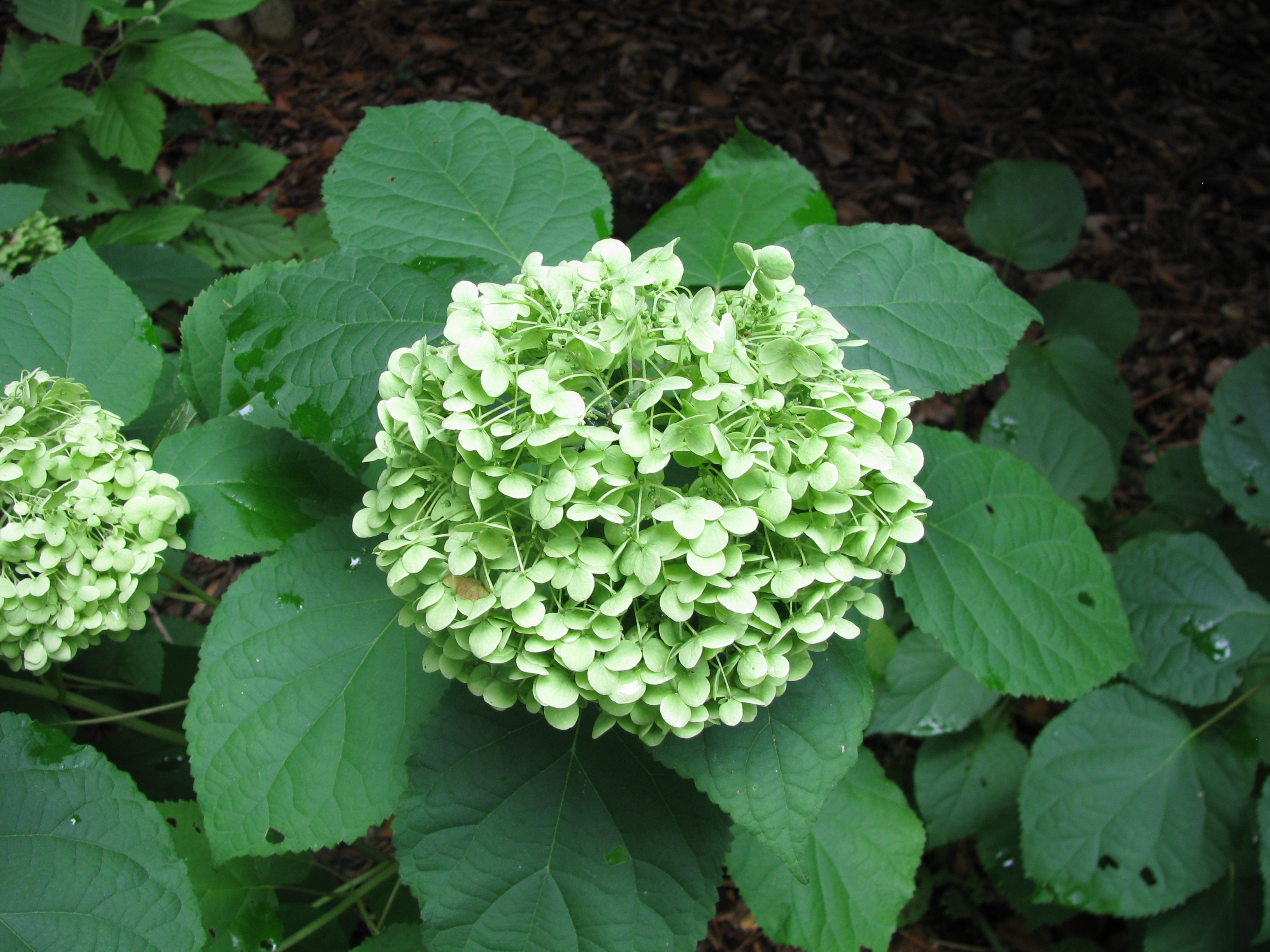 file hydrangea arborescens 39 annabelle 39 jpg wikimedia commons. Black Bedroom Furniture Sets. Home Design Ideas