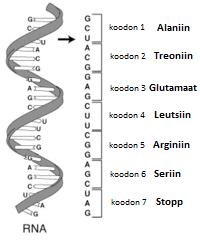 Diagramm üheahelalisest RNA molekulist, mis näitab kuidas 3-nukleotiidilisele koodonile vastab üks aminohape
