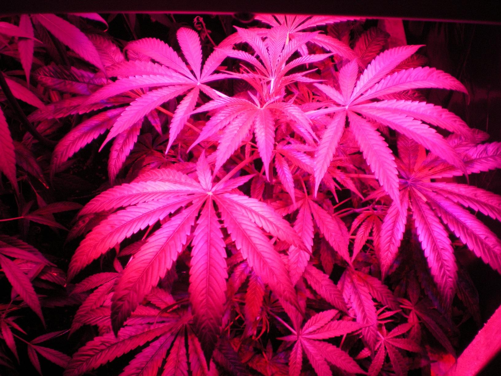 A Description of the History Purposes of Marijuana
