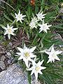 LeontopodiumAlpinum-1-2.jpg