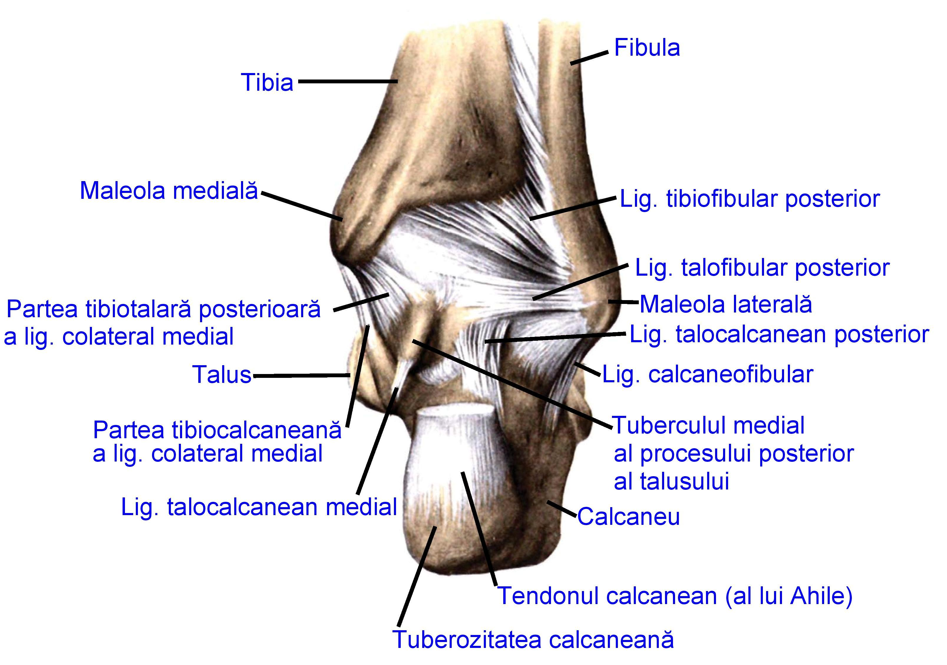 Fileligaments Of The Posterior Part Of The Footg Wikimedia