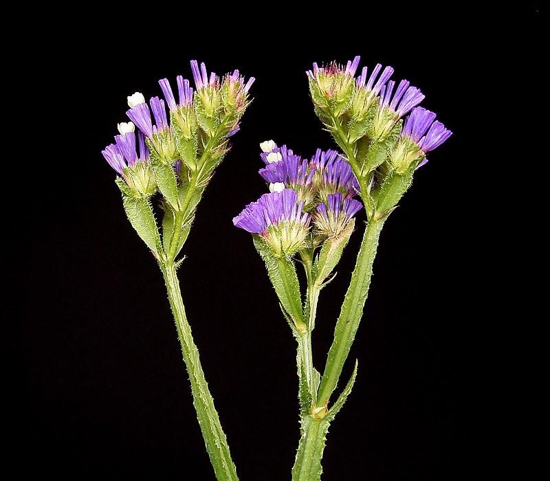 File:Limonium sinuatum 01 ies.jpg - Wikimedia Commons