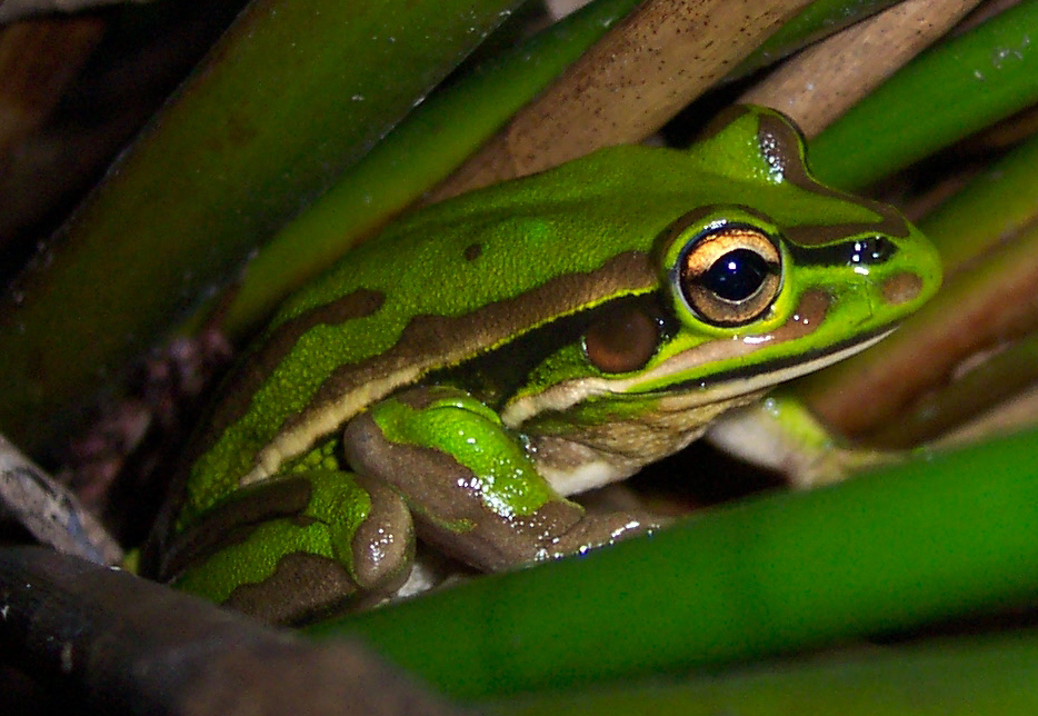 http://upload.wikimedia.org/wikipedia/commons/a/af/Litoria_aurea_green.jpg