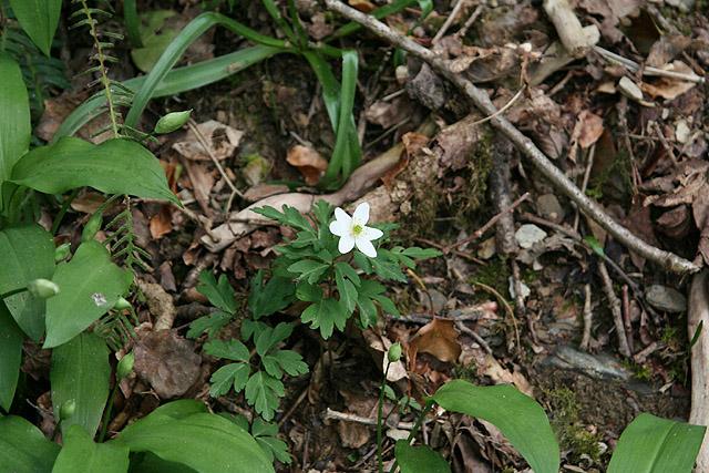 Lydford, Wood Anemone - geograph.org.uk - 774661