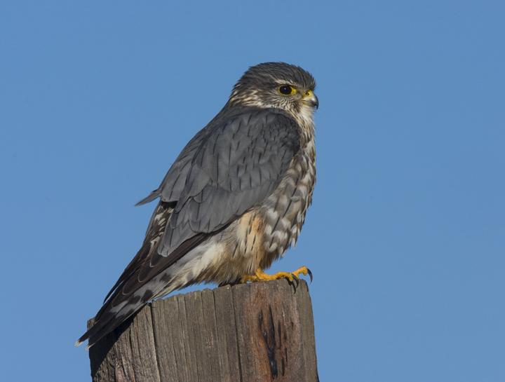 Merlin (Falco columbarius richardsonii) (2276417896).jpg