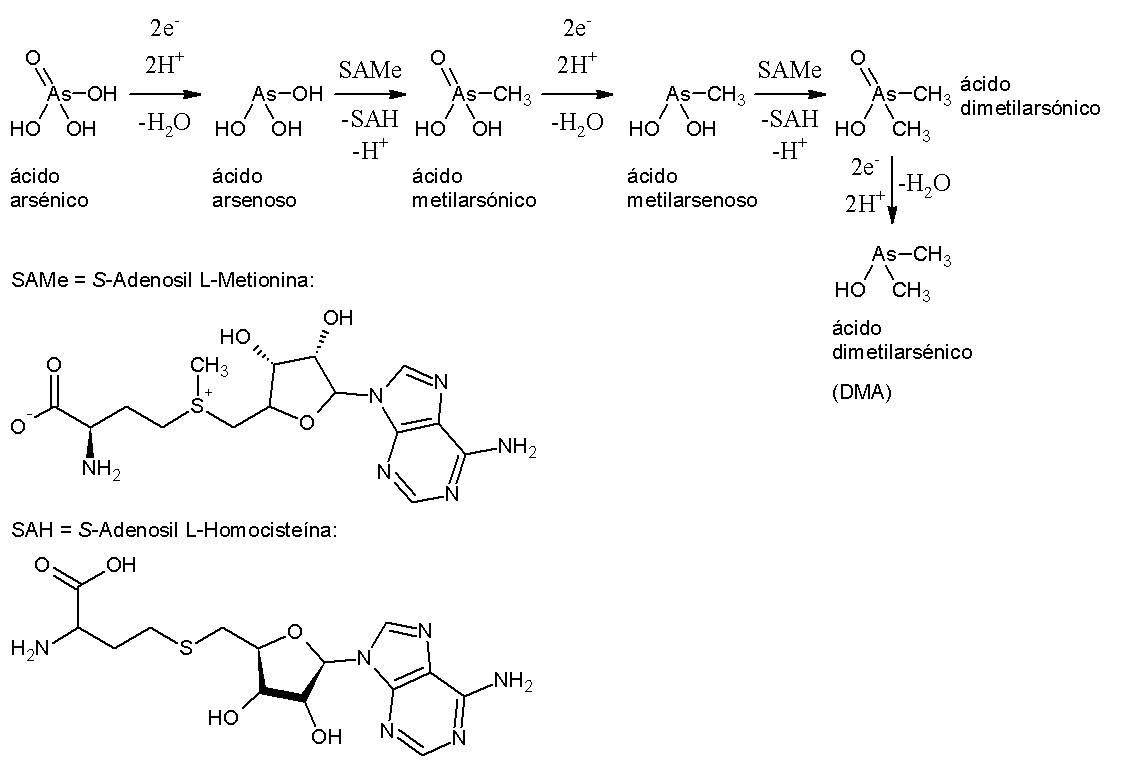 File:Metabolismo As.jpg - Wikimedia Commons