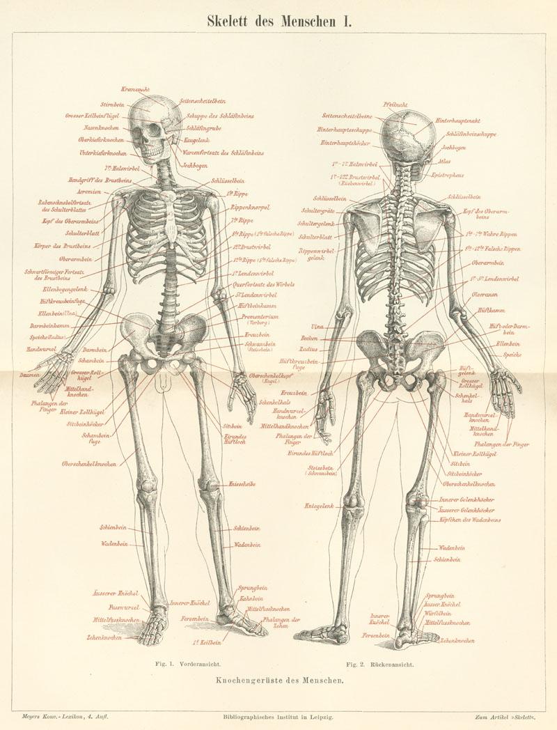Ziemlich Skelett System Informationen Galerie - Menschliche Anatomie ...