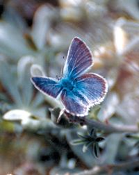 mission blue butterfly wikipedia